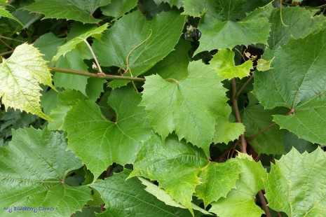 Marynowane liście winogron